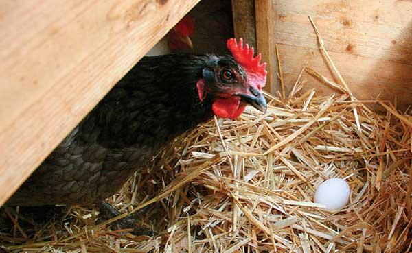 Несут яйца в более удобном месте