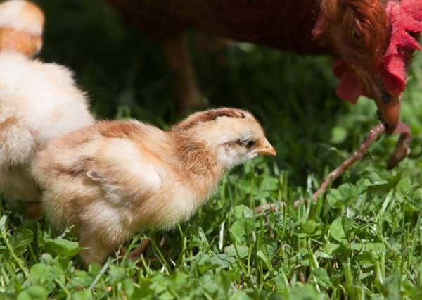 Для роста цыплят нужны витамины