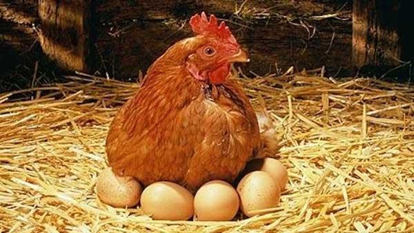 Наседка с яйцами