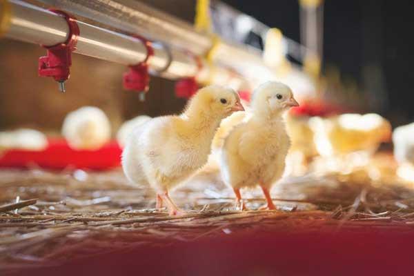 Птенцы легко могут заразиться