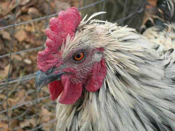 Антисанитарные условия проживания птиц