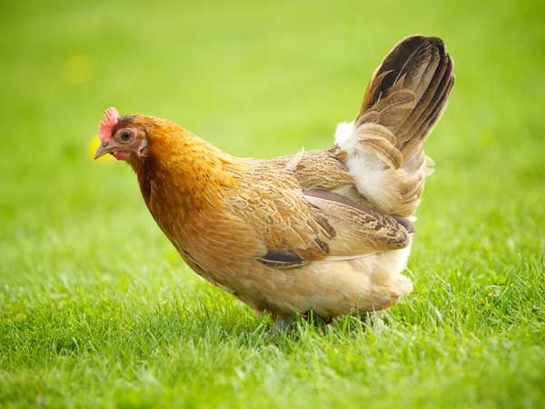 Здоровье домашних птиц это важно