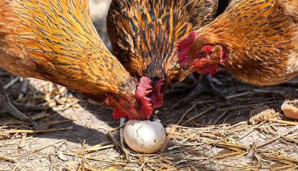 Взрослые особи расклевывают яйца