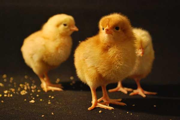 Маленькие цыплята в коробке