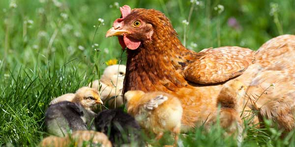 Мама с цыплятами