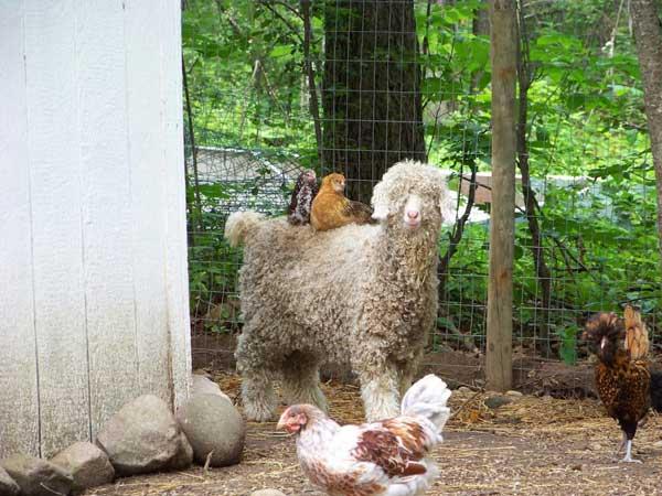 Сидят на овечке