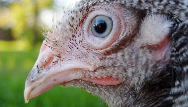 Зрение у курочек