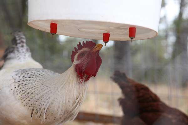Курица испытывает жажду
