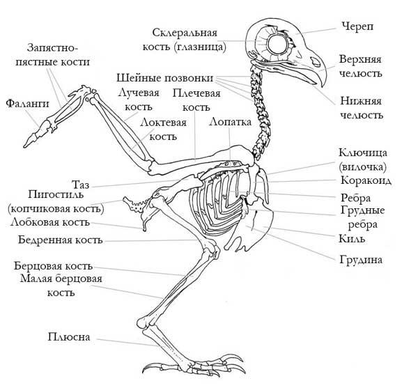 Строение скелета