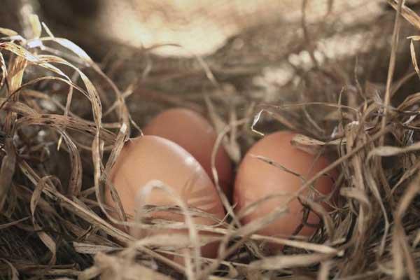 Гнездо несушки