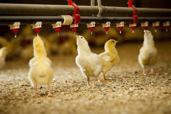 Подходит и цыплятам