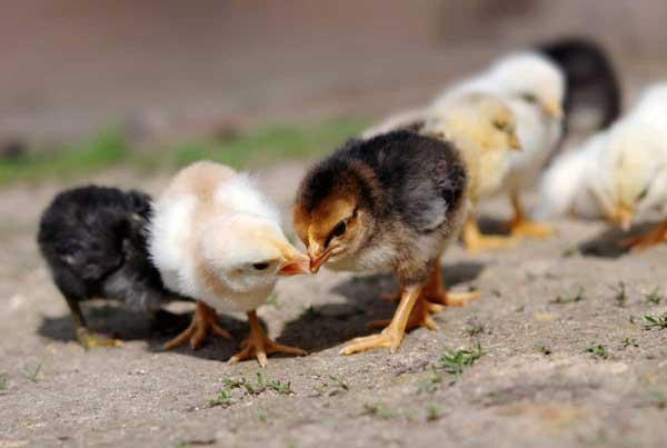 Ссора птенцов