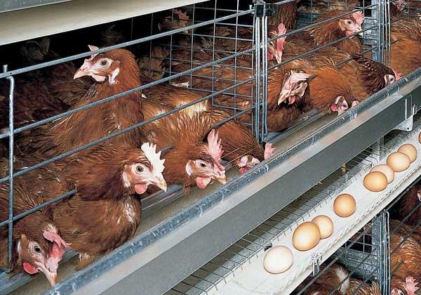 Яйца скатываются в лоток