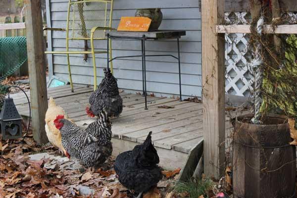 Прогуливаются на заднем дворе