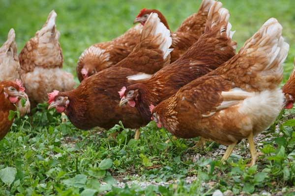 Для хорошей яйценоскости нужна свежая трава