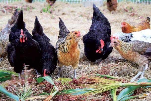 Причины, влияющие на яйценоскость кур