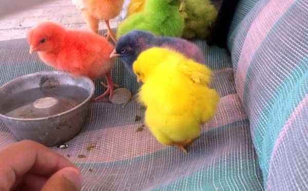 Цветные птенцы
