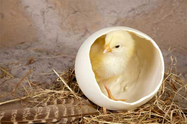 Сидит в скорлупе от страусиного яйца