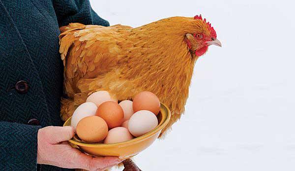 И в холода можно получать яички