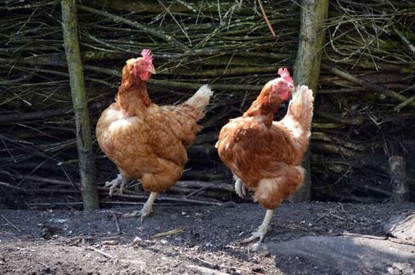 Птичьи танцы