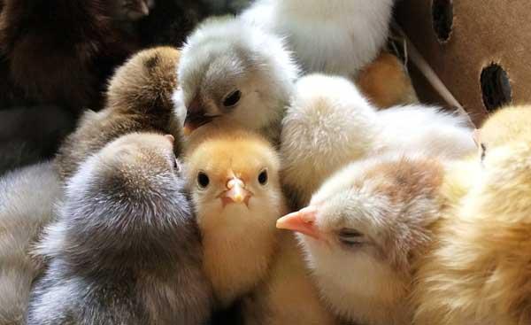 Такие милые птенчики