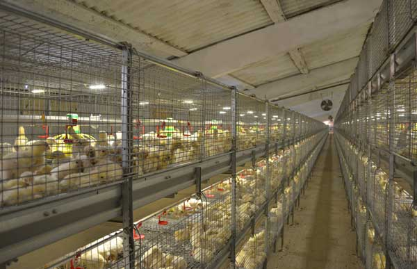 Большая птицефабрика