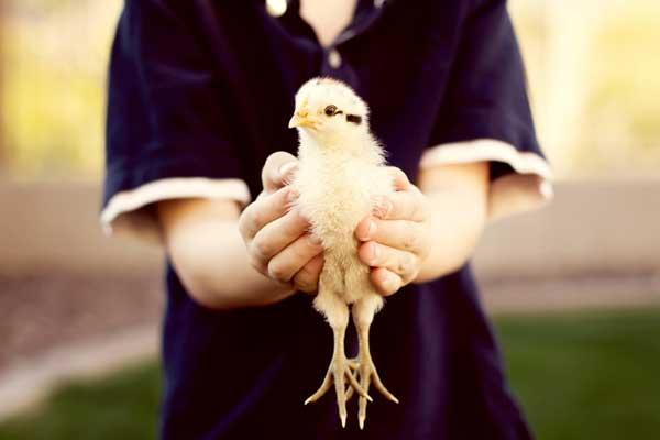 Мальчик держит в руках цыпленка